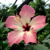 Hibiscus Flower at the Eden Project