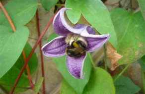 Bumble Bee in a Clematis