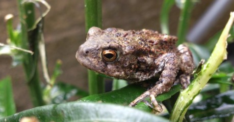 I think this is a Common Toad