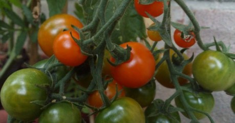 Ripening Sungold Tomatoes