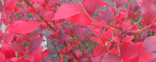 Blueberry Autumn Foliage