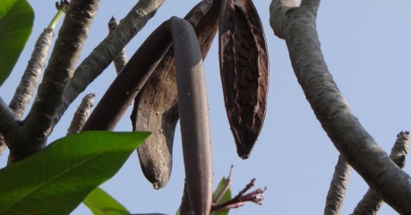 Plumeria Seed Pods