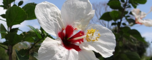 Tropical Hibiscus Flowers from Thailand