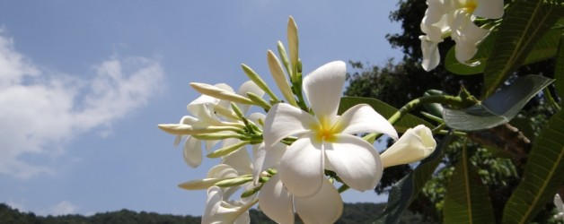 Plumeria Flowers from Thailand