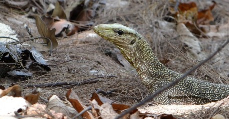 Yellow Spotted Monitor Lizard