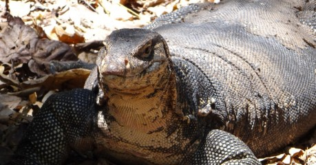 Big Monitor Lizard Basking