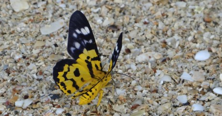 Yellow Butterfly from Behind