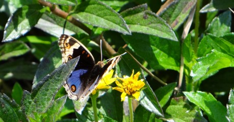 Butterfly - Blue and Black from Behind