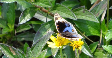 Butterfly - Blue and Black