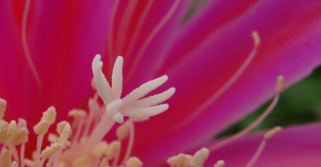 Epiphyllum 'Roman Torch' Close Up