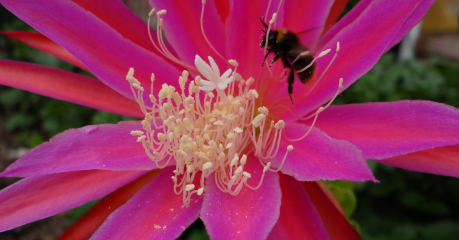 Epiphyllum 'Roman Torch' and Bee