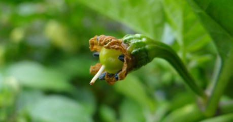 Orange Habanero Flower Fertilised