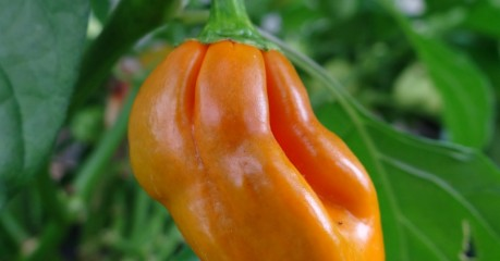 Ripe Orange Habanero