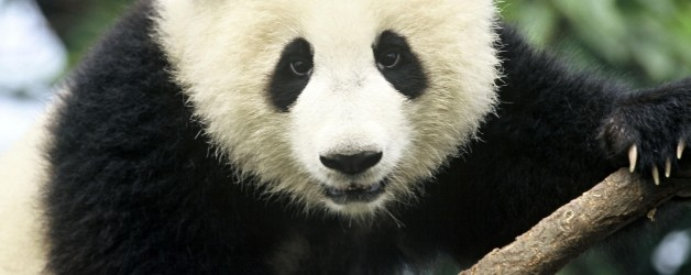 I've lost my patience with Giant Pandas