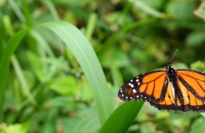 Monarch Butterfly on Lemongrass
