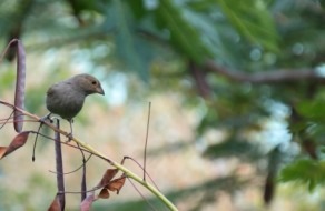 Female Lesser Antillean Bullfinch on Pride of Barbados