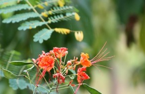 Pride of Barbados Flower in the Rain