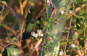 Antillean Crested Hummingbird Feeding