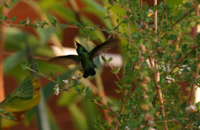 Antillean Crested Hummingbird Wings