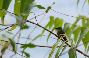 Female Antillean Crested Hummingbird