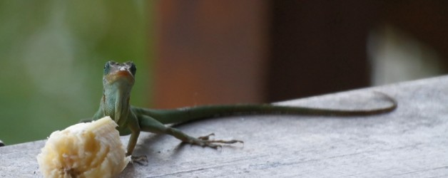 Lizards in St Lucia