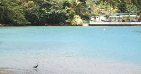 Little Blue Heron with Marigot Bay to himself