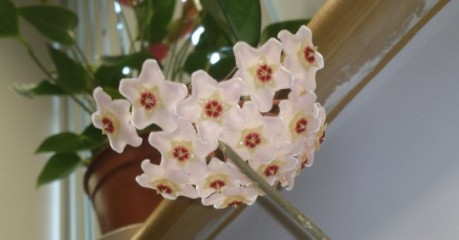 Hoya carnosa flowering in an office