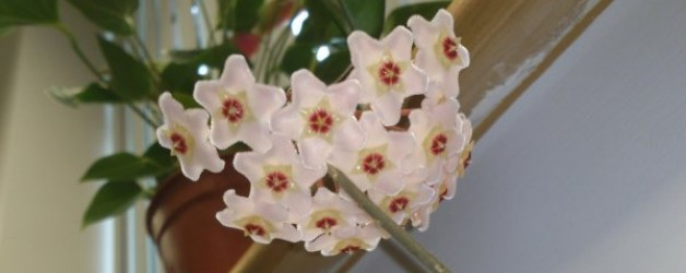Hoya carnosa | An Easy Indoor Plant