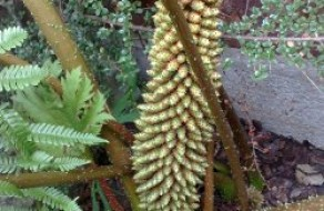 Gunnera flower stalk