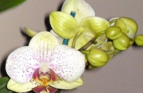 Phal orchid flowers
