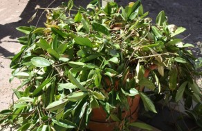 Hoya Plant For Sale