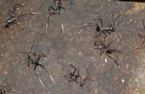 Monster Ants in Daintree Rain Forest