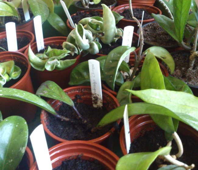 Taking Cuttings Mollys Tropical Plants