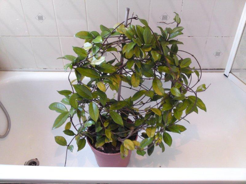 Pruning Hoya Plants Mollys Tropical Plants