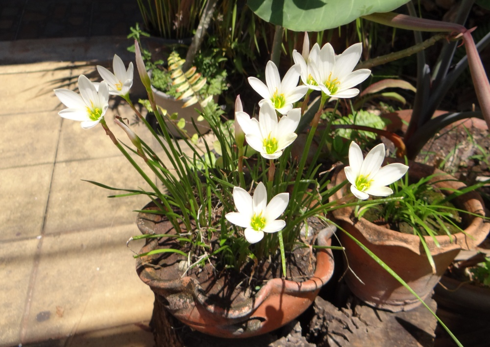 White flowers from thailand mollys tropical plants white flowers mightylinksfo