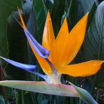 Strelitzia – The Bird of Paradise Plants