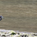 Little Blue Heron in Marigot Bay