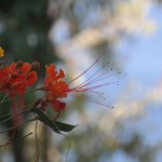 Trees of St Lucia | Pride of Barbados